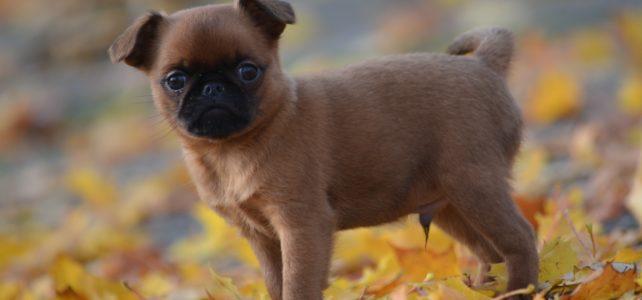 Eliminatie van kortsnuitige hondenrassen.